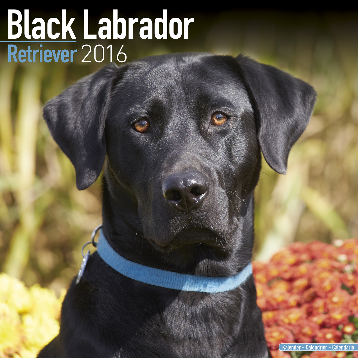 Black labrador retriever wall calendar 2016