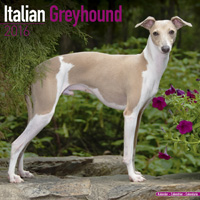 Italian Greyhound Wall Calendar 2016
